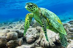 Hawksbill sea turtle swimming in Indian ocean in Maldives Royalty Free Stock Images