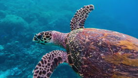Hawksbill sea turtle swimming over deep blue and coral reef in the Raja Ampat Kri islands, West Papua. Indonesia stock video