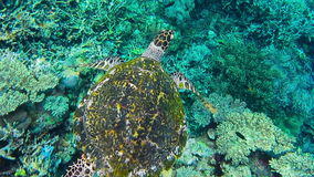Hawksbill sea turtle swimming over hard and soft coral reef in the Raja Ampat Kri island, West Papua, Indonesia stock footage