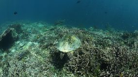 Hawksbill Sea Turtle Swimming Over Reef. A Hawksbill sea turtle swims over a shallow coral reef in Raja Ampat, Indonesia. This remote region is called the heart stock video footage