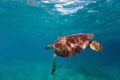 Hawksbill sea turtle. Swimming in tropical ocean Stock Photos
