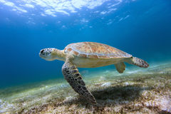 Hawksbill sea turtle. Swimming in tropical ocean Stock Images