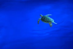 Hawksbill Sea Turtle swims below surface Royalty Free Stock Photo