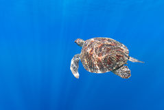 Hawksbill Sea Turtle swims below surface Stock Photos