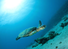 Hawksbill sea turtle swims in clear blue ocean Stock Photos