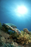 Hawksbill sea turtle swims in clear blue ocean Royalty Free Stock Photos