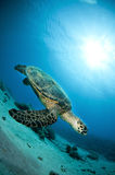 Hawksbill sea turtle swims in clear blue ocean Royalty Free Stock Photo