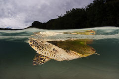Hawksbill Sea Turtle in Tropical Pacific Stock Photography