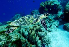 Hawksbill Sea Turtle. On a tropical reef in the Caribbean stock photos