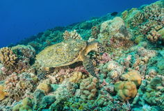 Hawksbill sea turtle underwater on coral reef Stock Photo