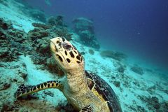 Hawksbill sea turtle underwater Stock Photography