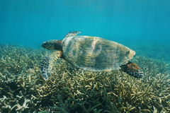 Hawksbill sea turtle underwater Pacific ocean Royalty Free Stock Image