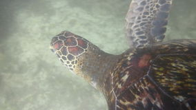 Hawksbill sea turtle stock video