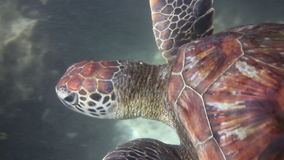 Hawksbill sea turtle stock video footage