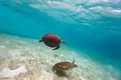 Hawksbill sea turtles Stock Image