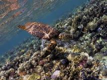 Hawksbill Seeschildkröte Stockfotografie