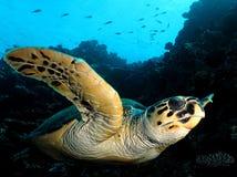 Hawksbill sköldpadda arkivfoto
