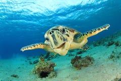 Hawksbill sköldpadda arkivbilder
