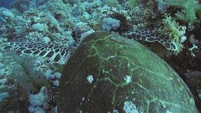Hawksbill sköldpadda i det röda havet. 股票视频