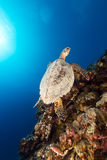 Hawksbill sköldpadda och tropisk rev i det röda havet. arkivfoton
