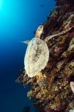 Hawksbill sköldpadda och tropisk rev i det röda havet. royaltyfri foto