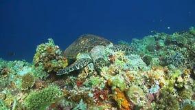 Hawksbill sköldpadda på en korallrev lager videofilmer