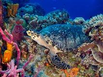 Hawksbill sköldpadda som vilar på färgrik korall royaltyfri bild