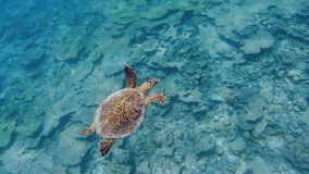 Sea turtle swimming over coral reef. A hawksbill or tortoise shell turtle swimming over a coral reef in the Maldives smothered in silt by sand in the Maldives stock video footage