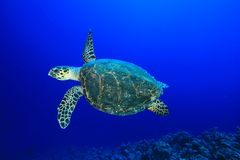 Hawksbill Turtle. In blue water Stock Image