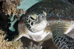 Hawksbill turtle Royalty Free Stock Photos