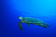 Hawksbill Turtle. (Eretmochelys imbricata) in the Red Sea Stock Photography
