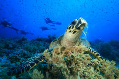 Hawksbill Turtle. (Eretmochelys imbricata) with group of scuba divers in background Stock Photo