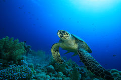 Hawksbill Turtle. In the Blue hole, Dahab Royalty Free Stock Photo