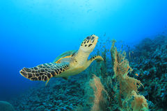 Hawksbill Turtle. Fins over coral reef Royalty Free Stock Photos
