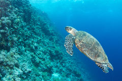 Hawksbill turtle Royalty Free Stock Images