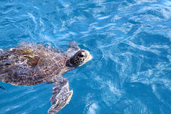 Hawksbill Turtle Stock Photos
