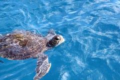 Hawksbill Turtle stock photos