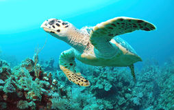 Hawksbill turtle. Swimming under water Stock Photo