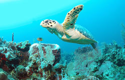 Hawksbill Turtle. Swimming over coral reefs Stock Image