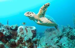 Hawksbill Turtle Stock Image