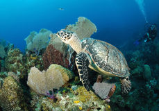 Hawksbill turtle. Stock Images