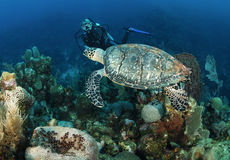Hawksbill turtle. Royalty Free Stock Image