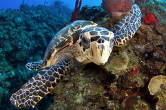 Hawksbill Turtle. Closeup of a Hawksbill Turtle Stock Photos