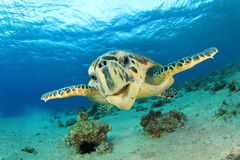 Hawksbill Turtle. Hawksbill Sea Turtle (Eretmochelys imbricata) in the Red Sea Stock Images