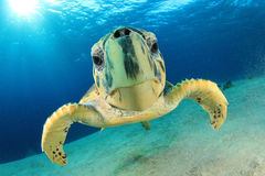 Hawksbill Turtle. Hawksbill Sea Turtle (Eretmochelys imbricata) in the Red Sea Stock Photo