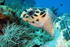 Hawksbill Turtle. (Eretmochelys Imbricata) Close-up, Cozumel, Mexico Stock Image