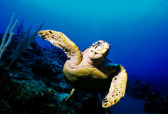 Hawksbill Turtle. A Hawksbill Turtle swimming in the Caribbean Royalty Free Stock Photo
