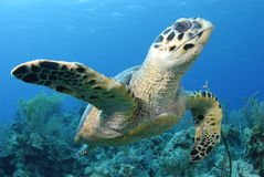 Hawksbill Turtle. And Coral Reef Royalty Free Stock Photo