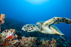 Hawksbill turtle  above coral reef. Royalty Free Stock Photo