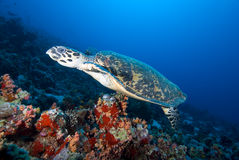 Hawksbill turtle  above coral reef. Stock Photos